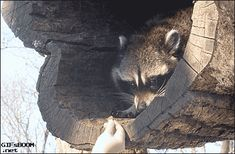 This careful raccoon who is grabbing his treat ever so gingerly: - AWW - - 12 Things You Have To See To Believe The post This careful raccoon who is grabbing his treat ever so gingerly: appeared first on Gag Dad. Funny Animal Pictures, Funny Animals, Cute Animals, Cartoon Man, Dog Halloween Costumes, Funny Christmas Cards, Racoon, Funny Cartoons, Funny Humor