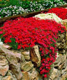 Plants for Rock Wall Landscapes Moss Phlox -- would love to have the Scarlet Flame cultivar growing on my rock wall.Moss Phlox -- would love to have the Scarlet Flame cultivar growing on my rock wall. Flowers Perennials, Planting Flowers, Flowers Garden, Partial Shade Perennials, Phlox Flowers, Partial Shade Plants, Full Sun Perennials, Sun Flowers, Flower Plants