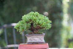 Mame pine bonsai