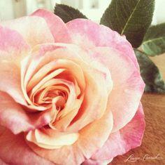 Roses #LaurenConrad