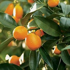 """Grows in the area of the Nymphs this tiny, aromatic """"sweet orange"""" is a sweet kumquat - Corfu,Greece Fruit Of The Month, Bubble Station, Corfu Greece, Fruit Stands, Tropical Fruits, Healthy Fruits, Plant Care, Berries, Orange"""