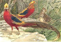 BIRDS. Golden pheasants - 1895 - old print - antique prin...
