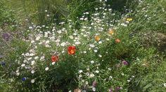 Wildflowers along the Harriet K. Maxwell Desert Wildflower Loop Trail