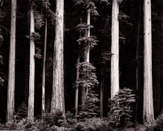 Ansel Adams, Redwoods, 1960