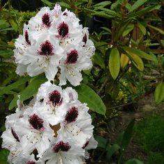Předcházejte nemocem azalek a rododendronů