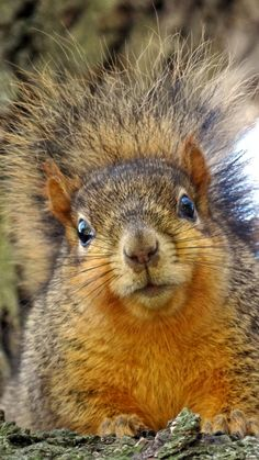 A Squirrel With a Startled Stare. (by Rasa OM). Nature Animals, Animals And Pets, Baby Animals, Funny Animals, Cute Animals, Wild Animals, Hamsters, Rodents, Squirrel Pictures