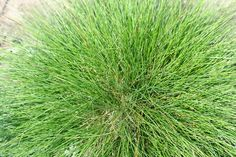 Drought-Tolerant grass: Live in a cooler region of the country? Fescue grass is a smart drought-tolerant option. The variety you want is called hard fescue grass, named for its ability to tolerate tough conditions.