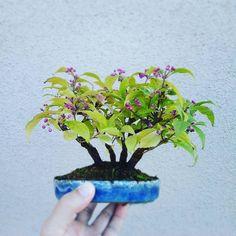 紫式部 Callicarpa japonica#bonsai #japan #盆栽 #小品盆栽