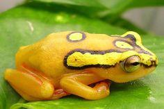 Mountain Reed Frog Hyperolius puncticulatus