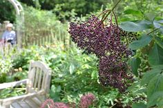 Elderberry (Sambucus canadensis) in the Herb Garden at Heritage Museum and Gardens, Sandwich, Massachusetts