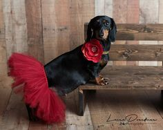 My girl is expecting and I am a photographer, so. a maternity photo shoot was a must! Roxie is such a good sport! Baby Dachshund, Arte Dachshund, Dachshund Gifts, Animals And Pets, Cute Animals, Pregnant Dog, Love Your Pet, Dog Birthday, Dog Pictures