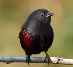 The Dusky Twinspot (Euschistospiza cinereovinacea) is a species of estrildid finch found in Africa. It has an estimated global extent of occurrence of 130,000 km². It is found in Angola, Burundi, The Democratic Republic of the Congo, Rwanda & Uganda.