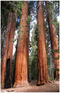 Sequoia National Park Redwood Trees Nature Travel Poster 11x17