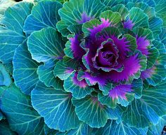 cabbage, beautiful colours of nature