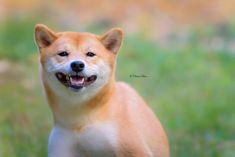 #shiba inu #dog