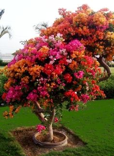 Bougainvillea tree-I want one in all those beautiful colors! ( pluses since it is not a bougainvillea bush/climbing bush, it won't be a scorpion haven like our last bougainvillea that Hot Hubbie tore out) Trees And Shrubs, Flowering Trees, Trees To Plant, Bonsai Trees, Fruit Trees, Bougainvillea Tree, My Secret Garden, Plantation, Dream Garden