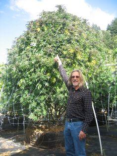 De nummer 1 kankerbestrijder van de wereld, cannabis, werkt zo effectief, dat er eigenlijk een standbeeld voor opgericht zou moeten worden. Hoewel verboden in de meeste landen, mag in Nederland ieder persoon ongestraft vijf stuks van deze wonderplant zelf kweken (helaas niet zo groot als deze)