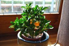 Faites des Ãconomies faites pousser ces 9 types daliments à la maison ! Garden Plants, House Plants, Kumquat Tree, Garden Journal, Potting Soil, Clay Pots, Connecticut, New England, Indoor