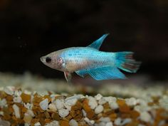 In this activity, students will research general information about bettas and use that information to determine suitable habitat requirements and maintenance. Students will work collaboratively to perform weekly maintenance duties to keep their betta alive. Students also will observe physical characteristics of their betta and conduct investigations on the behavioral characteristics of their betta.