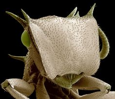 Science Photography Scanning Electron Micrograph - Creepy crawlies Amazing Scanning Electron Microscope pictures of insects and spiders Micro Photography, Miniature Photography, Insect Photography, Animal Photography, Rainforest Pictures, Microscope Pictures, Pictures Of Insects, Scanning Electron Microscope, Microscopic Photography