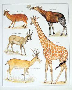 Vintage Animal Print 1972 | Nina | Flickr Animal Paintings, Animal Drawings, Nature Animals, Animals And Pets, Okapi, Animal Posters, African Animals, Watercolor Animals, Animals Of The World