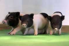 """#NYTimes .... """"Geneticists have created piglets free of retroviruses, an important step toward creating a new supply of organs for transplant patients.''.... https://www.nytimes.com/2017/08/10/health/gene-editing-pigs-organ-transplants.html #ad"""