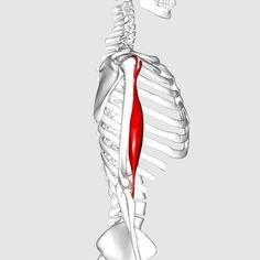Biceps brachii : long head/ supraglenoid tubercle of scapula, short head/ coracoid process of scapula (origin) bicipital tuberosity of radius (insertion).