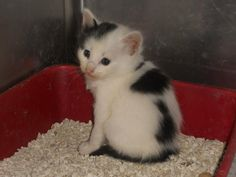 URGENT! IN DANGER! NEED ADOPTION OR RESCUE ASAP! ID#A025405 I am a black and white Domestic Shorthair. The shelter staff think I am about 4 weeks old... Rutherford County Animal Control, NC ~ Community Pet Center 828 287 7738