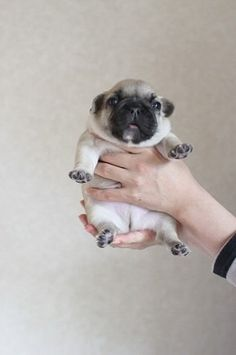little pug nugget