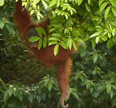 Rem jungle spirit: Orangutany w Bukit Lawang