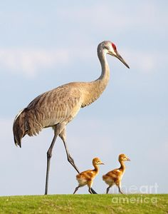 Walking to School, sandhill crane and chick