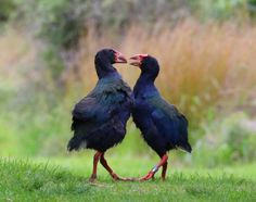 The takahē is a flightless land bird endemic to Aotearoa New Zealand. This is Bargie (male bird on left) and Ihi, a courting pair photographed on Kāpiti Island in Rail Bird, Flightless Bird, Go Outdoors, South Island, Continents, Conservation, New Zealand, Australia, Activities
