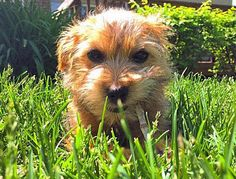 Casey the Norfolk Terrier, not to worry....Lions and Tigers and Bears......