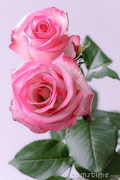 duas-rosas-cor-de-rosa-17223102.jpg (300×450)