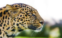 Big Cat Leopard - https://www.highdefwallpaper.com/animals/big-cat-leopard/ Big Cat Leopard is an HD wallpaper posted in animals category. You can download Big Cat Leopard HD wallpaper for your desktop, notebook, tablet or phone or you can edit the image, resize, crop, frame it so that will fit on your device.