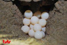 Olive Ridley turtle eggs.  DONATE NOW Your donation helps us protect sea turtles  http://goo.gl/hSQHIK  #seaturtles #bali #indonesia #instanusantara #idinstagram #baliseaturtle #iphonesia #nature #TagsForLikes #instagood #tweetgram #photooftheday #instamood #instagramhub #instadaily #beautiful #bestoftheday #webstagram #instagramers #wildlifecam