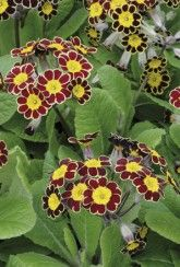 Polyanthus Victorian Lace - Bedding