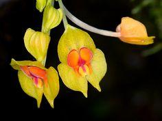 Orchid (Lepanthes gargantua)