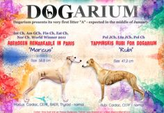 """Dogarium presents ad of its very first whippet litter """"A"""" - born 19.01.2015 <3"""