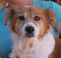 Isabelle is eager to love someone and devote herself to becoming a cherished member of a family.  She is a small Tibetan Spaniel mix, 4 years of age, spayed, and debuting for adoption today at Nevada SPCA (www.nevadaspca.org).  Isabelle enjoys other friendly dogs and we believe she has the temperament to be great with mature kids too.  Isabelle was found on the streets with no sign of responsible ownership.