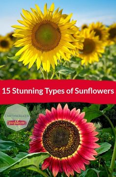 Love Sunflowers? Here's 15 Stunning Types of Sunflowers for you to grow from classic to unusual types. Lots of beautiful pictures to help make a choice.