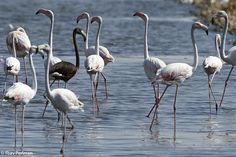 A black flamingo!!! Am I the only one that finds this exciting??? / This melanistic Greater Flamingo was spotted in Eilat, Israel on August 8 2013 by Yoav Perlman.