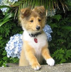 Like Pavlov's Dogs, to reinforce the Sheltie smile, you need to repeatedly reward the behavior: a belly rub, a dog treat, or a nice pat on the head.