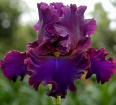 STILL OF THE NIGHT (Grosvenor 2016 E 88cm) Purple standards, darker falls with brown hafts and mustard beards. Well branched and budded iris.