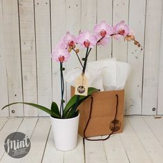A tropical phalaenopsis moth orchid plant will be presentedin a white…