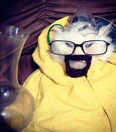 "This Cat Dressed as Walter White of ""Breaking Bad""  Anyone who wouldn't recognize this masterpiece of a costume doesn't deserve to trick or treat on Halloween."