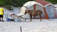 assateague island national seashore chincoteague island ponies beach camp virginia maryland