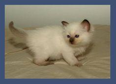 little Chocolatepoint Ragdoll kitten Kaipo 5 weeks old