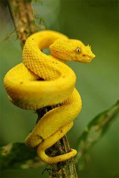 Yellow Horned Snake
