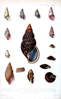 Sea shells; educational plate.  vintageprintable.com/wordpress/